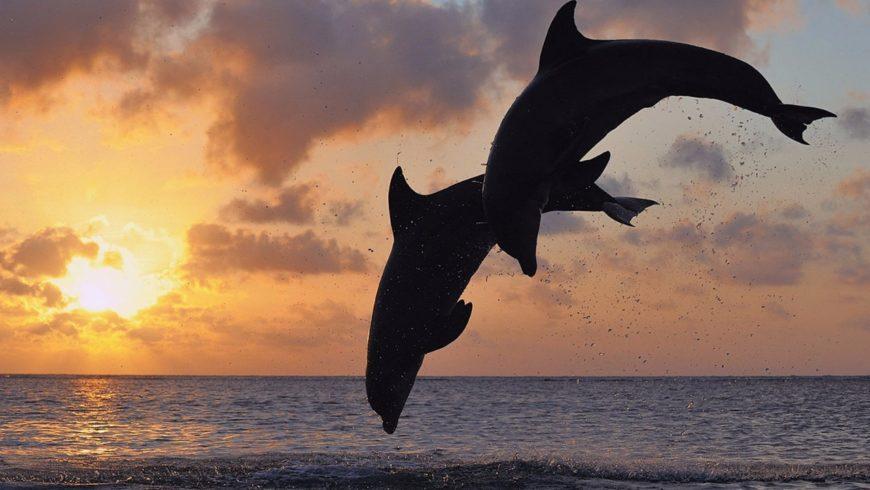 siluetas-de-delfines-saltando-en-el-oceano-